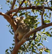 koala maggie