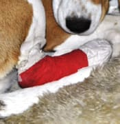 CU dog paw bandaged vet beagle april 2019 d