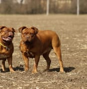 french mastiff dogue de bordeaux max pixel
