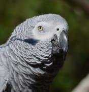 african grey parrot parrot bird plumage 162078