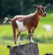 Goat on log.jpg