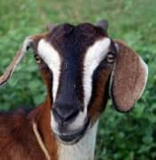 Goat - Cool colourings on head.jpg