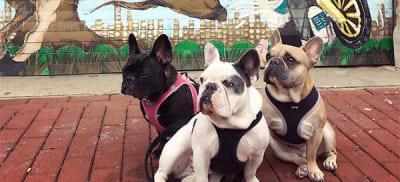 lady gaga dogs valleyofthedogs