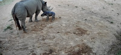 A supplied image obtained on Monday, March 1, 2021, shows a newly born Black Rhino calf alongside its mum Bakhita seen via CCTV cameras at Taronga Western Plains Zoo in Dubbo. The zoo welcomed the safe arrival of a female Black Rhino calf on Wednesday, February 24. (AAP Image/Supplied by Taronga Western Plains Zoo) NO ARCHIVING, EDITORIAL USE ONLY