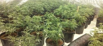 cannabis-raising-its-head-again-in-the-hunter-valley-police-district.jpg
