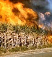 Burning off Sugar Cane  fields   Queensland, 1959