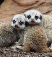 Baby_Meerkats.jpg