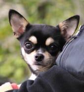 Chihuahua - Free.jpg