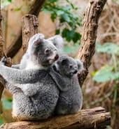 Koala_-_free.jpg