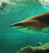 Shark - Free.jpg