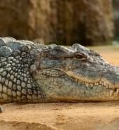 nile-crocodile-crocodylus-niloticus-zoo-60644.jpeg