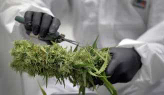Trimming a Cannabis plant