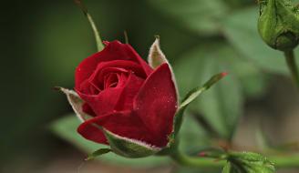 rose 2396773 960 720