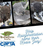 Rainforestation_koala_contest_1_1.png