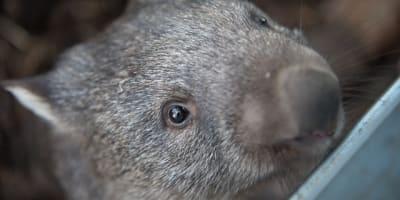 wombats 2365429 640