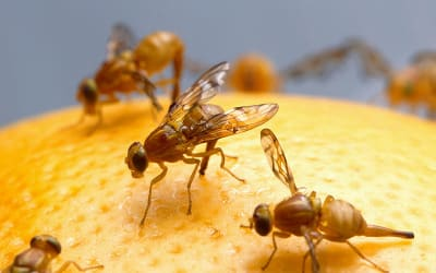 fruit fly pic