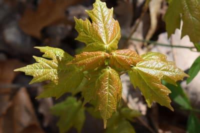 maple-leaves-2217063_1920 (1).jpg