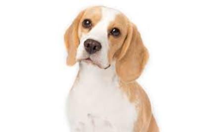 beagledogpic