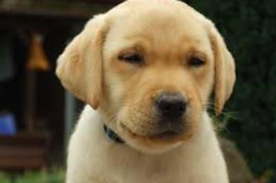 doglabpuppy