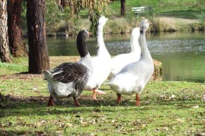 geese lake daylesford hepburn 2019 pic day tripper es 1