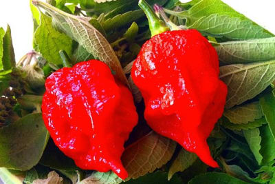 "This is ""Carolina Reaper"" Chili Pepper - The Hottest Pepper in the Whole Planet #carolinareaper #hottest - I"