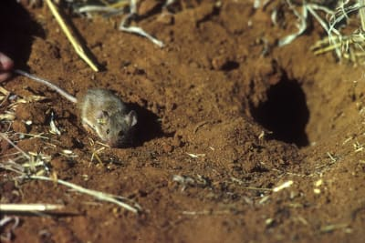 mice_plague_CSIRO.jpg