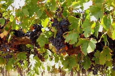 Wine grapes in Barossa Valley. SA