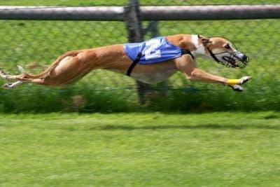800px-Greyhound_Racing_2_amk.jpg