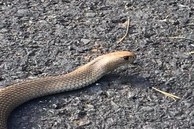 eastern brown snake in Moss Vale