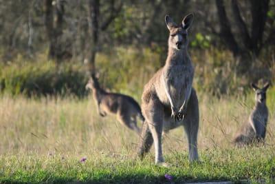 kangaroo bowral