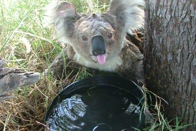 koala drinking water january 21