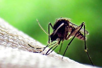 mozquito.jpg