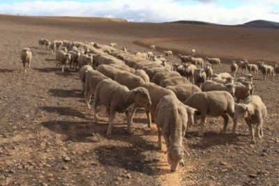 sheep farming in drought conditions 696x432