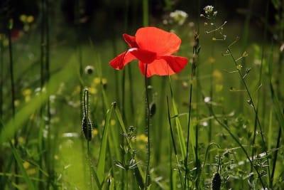 poppy-3137588_640.jpg