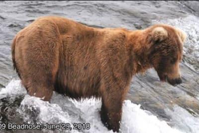 fat_bear.JPG