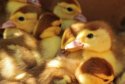 Duckscar19