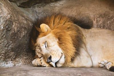 Liondrill19