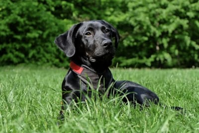 dog black labrador black dog 162149