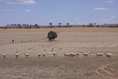 Sheep drought.jpg