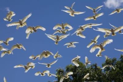 little-corella-flock-1294236.jpg