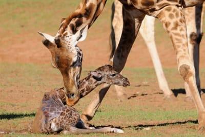 Giraffe Calf 1 Zoos SA Geoff Brooks