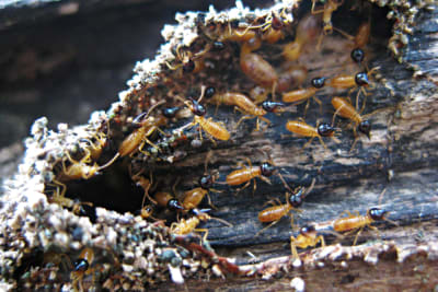 640px-Nasute_termite_soldiers.png