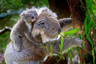 grey-and-white-koala-bear-85678.jpg