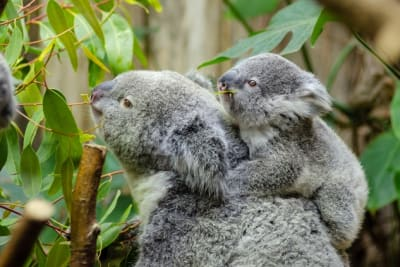 koala bear with baby on back 146000