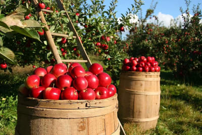 orchard-apple-apples-fruit-green-nature-tree-food-garden_from_pikist.jpg