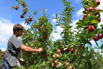 backpacker fruit picker Photo Apple and Pear Australia Ltd Flickr