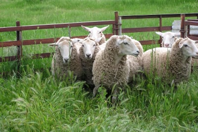 sheep-2411523_1280.jpg
