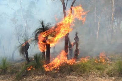 Photo of grass tree on fire during controlled burn by JarrahTree wikimedia commons