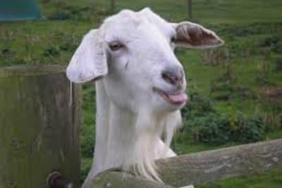 Goat 2 - white.jpg