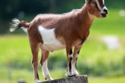 Goat on log.jpg